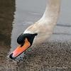 Swan-portrait-4,-Avon-River,-Stratford-upon-Avon