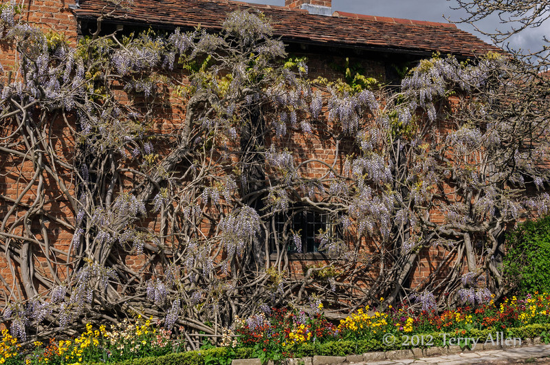 Old-wisteria-bush-growing-on-Nash-House,-Stratford-upo n-Avon