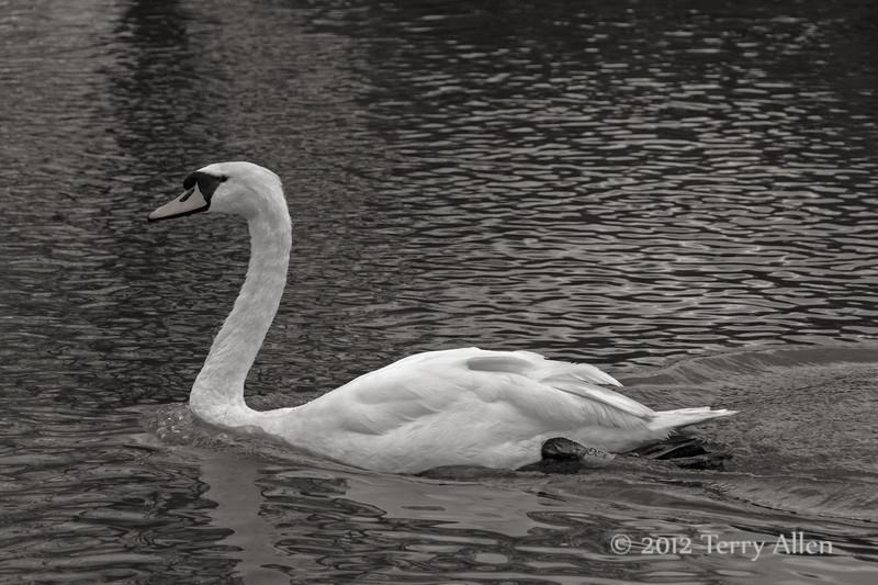 Quadra-tone,-swan-swimming-upstream-with-bow-wave,-Avon-River,-Stratford-upon-Avon