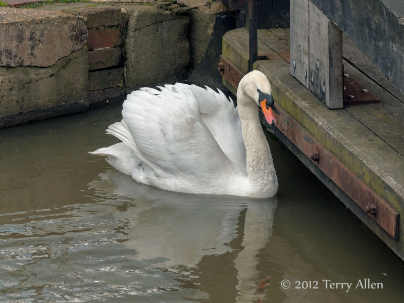 Swan-on-River-Avon,-Stratford-upon-Avon