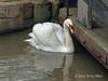 Swan-on-River-Avon,-Stratford-upon-Avon