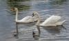 Two swans aswimming, Avon River, Stratford upon Avon