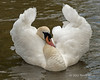 Swan doing her 'Swan Lake' impression, Avon River, Stratford upon Avon
