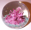 "P41 Coral Fantasy : This is Strathearn's P41 Coral Fantasy paperweight. The Strathearn description is ...""Coral like form rising from a weed green bed"".  To date I have seen three of these weights and all of them have been in this pink or Rock Shade Mauve color but it is possible that these weights were also made in the same four colors as the P39 Sea Anemone weight. These were large weights at around 3.0"" wide x 2.5"" tall or slightly larger. This was a new issue from May 1978. circa 1978 to 1980. I have no idea how many were made."