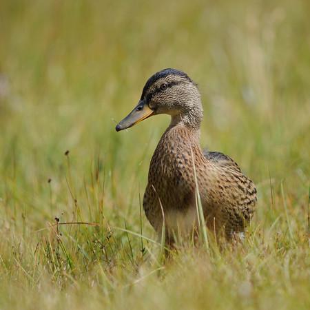 highland duck