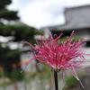 Pink Saga Chrysanthemum