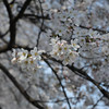Standing out.<br /> A few flowers on Sakura tree.