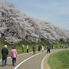 Along the Path by the Sakuras.