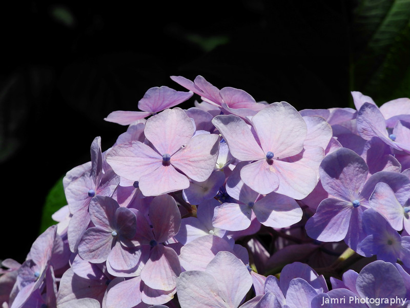 Up close to a Hydrangea.
