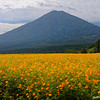 Orange Cosmos and Mt. Hinamoridake