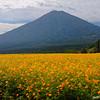 Orange Cosmos and Mt. Hinamoridake