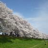 Sitting by the Sakuras