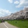 By the Sakura Tunnel