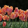 Orange Tulips.<br /> At the Kyoto Botanical Garden.