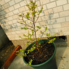 Bob's Plant in a new pot.<br /> The plant which Bob Walker bought for his sermon illustration has started another year of growth. It's getting so big that this year we got it a bigger pot, let see how big it will grow this growing season.<br /> It's a Sarusuberi (crepe myrtle) it leaves come back in mid April, it has its biggest growth in the June-July rainy season, then it flowers in August-October, its leaves turn a deep red and fall off in November.