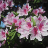 Pink Azaleas in the Sunlight.<br /> Near Nagaoka Tenmangu Shrine, Nagaokakyo, Kyoto-fu, Japan.