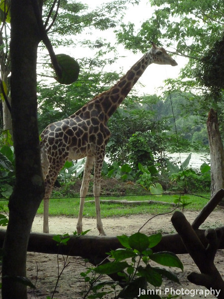 Giraffe.<br /> At Singapore Zoo.<br /> Photo by Ritsuko.<br /> This is the last photo from our trip to Singapore.