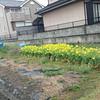 Nanohana in Heguri-cho.<br /> Ikoma-gun, Nara Prefecture.<br /> Stopped in Heguri on the way to Kyotanabe.