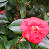 A Camelia.<br /> We went up to a cafe in the hills just outside of the Perth metro area. In their garden they had some flowers that are also found in Kyoto, but unlike Kyoto where they bloom at different times, in Perth's climate they all bloom at the same time.