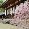 Shidare-zakaru (Weeping Cherry) at Houryu-ji.<br /> Ikaruga-cho, Ikoma-gun, Nara-ken, Japan.
