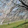 Curving Over.<br /> The Sakuras at Yawata.