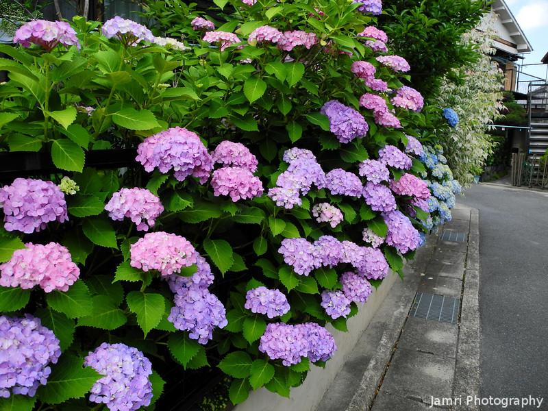 The Colours of Hydrangeas.<br /> A beautiful array of Hydrangeas outside a house in suburban Nagaokakyo, Kyoto-fu.