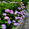 The Colours of Hydrangeas.<br /> A beautiful array of Hydrangeas outside a house in suburban Nagaokakyo, Kyoto-fu.
