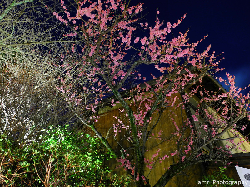 Ume During Higashiyama Hanatouro.<br /> This year the colder weather meant the Ume were still in bloom during Higashiyama Hanatouro. In contrast in 2010 it was so warm that some of the Sakura were in bloom during the Higashiyama Hanatouro.