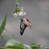 Feeding Butterfly 3
