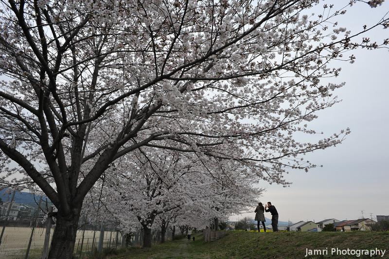 Under the Sakura.