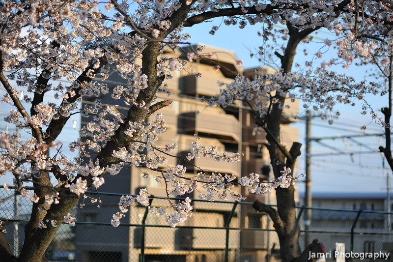 Sakura with Golden lit Apartment Block in the Background.