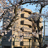 Sakura with Golden lit Apartment Block in the Background.