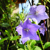 Purple Kikyo.<br /> These native Japanese Flowers are regarded as one of the Seven Autumn Plants.