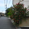 Bottlebrush in Japan