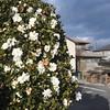 White Camellia Bush