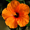 Hannah's Hibiscus.<br /> In Australia our friends the Walkers gave us a Hannah Gordon Rose which we planned in memory of our daughter Hannah. In Japan recently we were given a Hibiscus plant named Hannah by our friend Hiromi.<br /> You might have noticed I haven't posted anything for a while, that's because I've been to Australia for two weeks, but now I'm back in Japan. I've one more little batch of photos from before my trip to post, then I'll post some from my trip.
