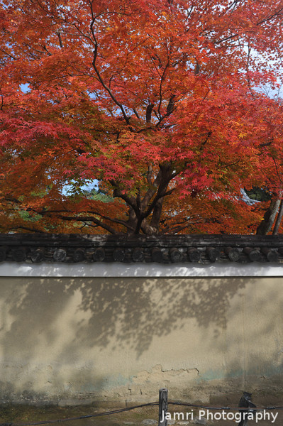 Maple, Wall and Shadows