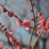 Pink Ume in the Grounds of Osaka Castle.<br /> Ume is Plum Blossom.
