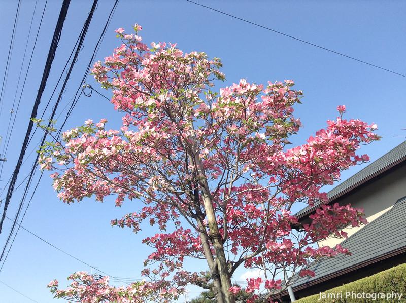 Light Pink Hana Mizuki.
