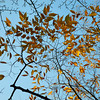 Looking up at some autumn leaves.
