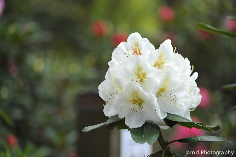 White Rhododendrons.<br /> At the Kyoto Botanical Garden.