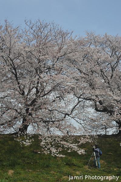 Capturing the sakuras from below.