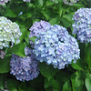 A Group of Light Blue Hydrangeas