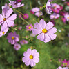 Upclose to Light Pink Cosmos (at f/2.8)
