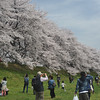 A Nice Day for Hanami.<br /> By the Sakura Tunnel in Yawata city, Kyoto-fu, Japan.