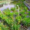 Irises in the Pond.