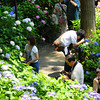 People Photographing the Hydrangeas.<br /> In the Gardens of Mimuroto-ji.