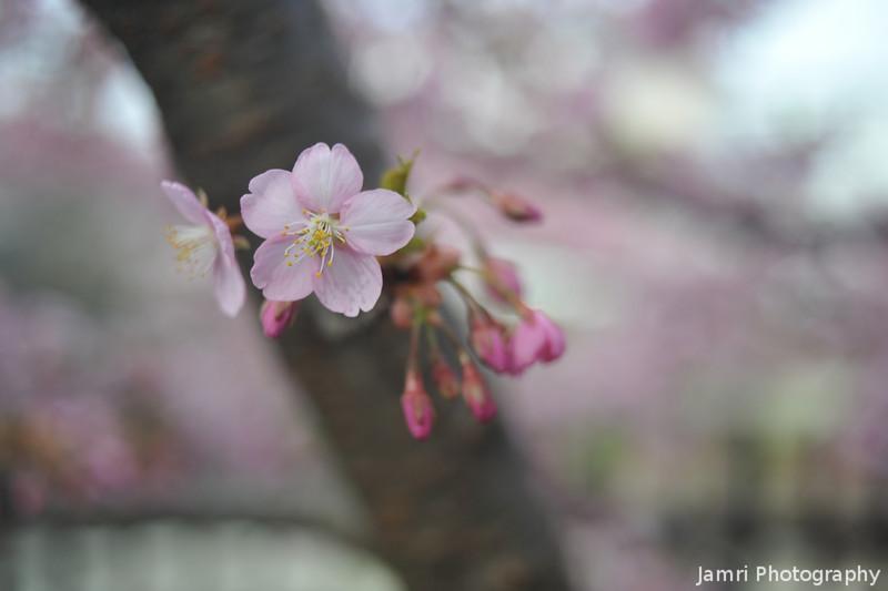 Out from a Branch.<br /> Another Kawazu Zakura at Fushimi-ku Yodo Shin-Machi in Kyoto.