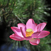 A Deep Pink Lotus by the Water.<br /> At Houkongou-in Temple, Hanazono, Kyoto.