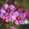 A Pair of Cosmos
